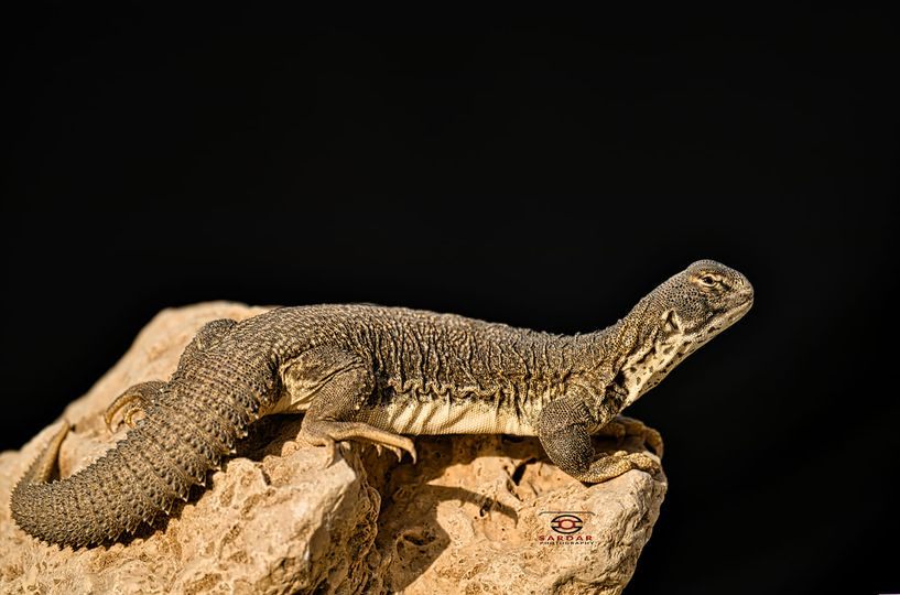Spiny Tailed lizard